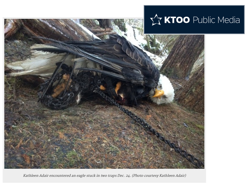 bald-eagle-mutilated-in-trap